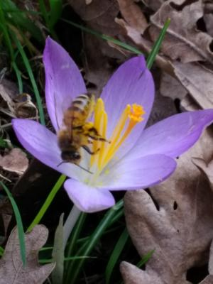 Bee enjoying the spring blooms