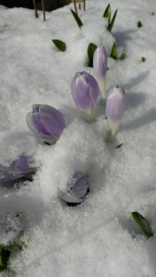 Crocus through snow