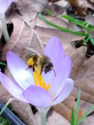Bee enjoying the spring blooms